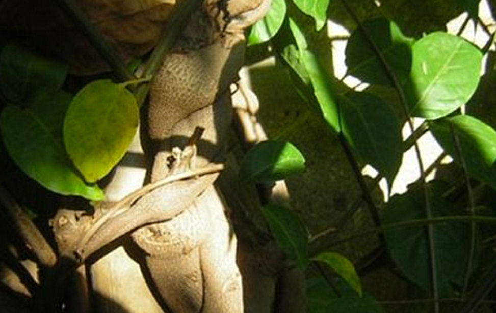 ayahuasca vine website